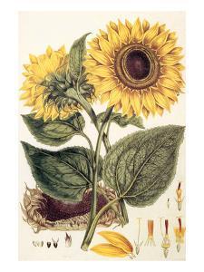 Sunflower by John Miller