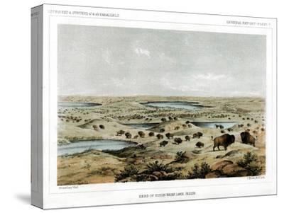Herd of Bison Near Lake Jessie, North Dakota, USA, 1856