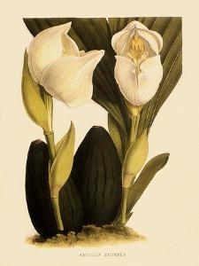 Anguloa Eburnea by John Nugent Fitch