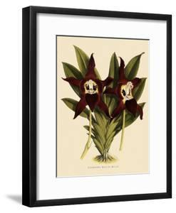 Batemannia Wallisii by John Nugent Fitch