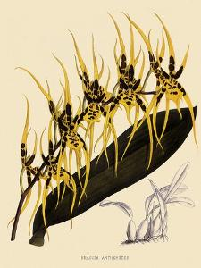 Brassia Antherotes by John Nugent Fitch