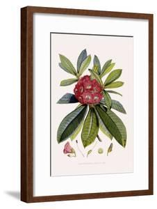 Bristly Rhododendron by John Nugent Fitch