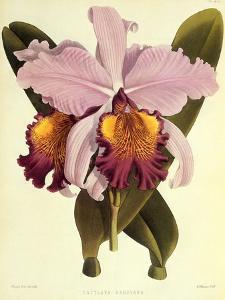 Cattleya Hardyana by John Nugent Fitch