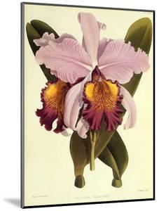 Cattleya Hardyana by John Nugent Fitch
