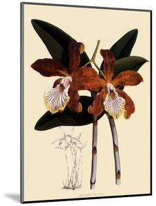 Cattleya Velutina by John Nugent Fitch