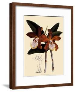 Cattleya Velutina by John Nugent Fitch
