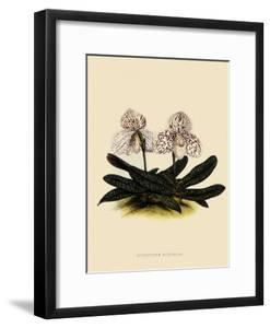 Cypripedium Godefroyae by John Nugent Fitch