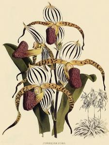 Cypripedium Stonei by John Nugent Fitch