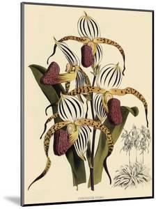 Cypripedium Stonei by John Nugent Fitch