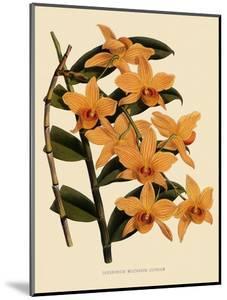 Dendrobium Moschatum Var. Cupreum by John Nugent Fitch
