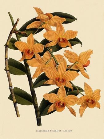 Dendrobium Moschatum Var. Cupreum