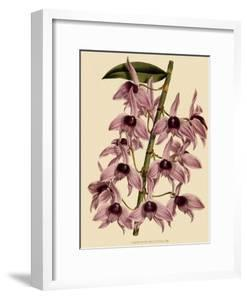Dendrobium Superbum by John Nugent Fitch