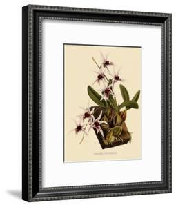 Dendrobium Treacherianum by John Nugent Fitch