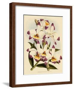 Dendrobium Wardianum Var Giganteum by John Nugent Fitch