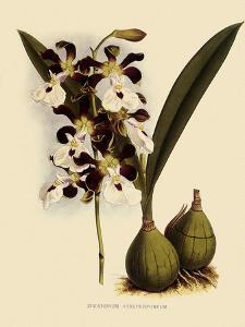 Epidendrum Atropurpureum by John Nugent Fitch