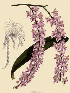 Foxtail Orchids, A�des Lobbii by John Nugent Fitch
