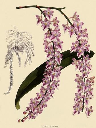 Foxtail Orchids, A�des Lobbii