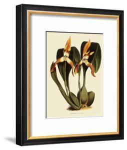 Maxillaria Luteoalba by John Nugent Fitch