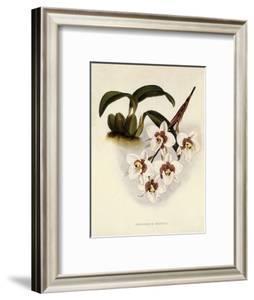 Odontoglossum Cervantesii by John Nugent Fitch