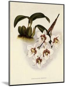 Odontoglossum Cervantesii by John Nugent Fitch