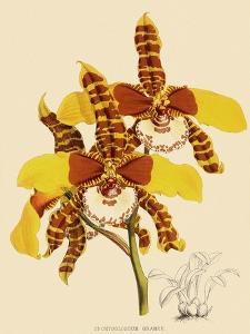 Odontoglossum Grande by John Nugent Fitch