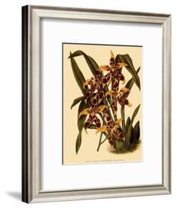 Odontoglossum Polyxanthum Var. Grandiflorum by John Nugent Fitch
