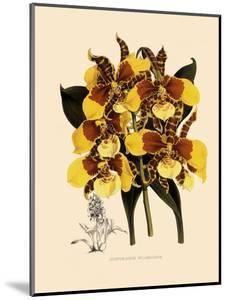 Odontoglossum Williamsianum by John Nugent Fitch
