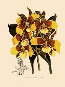 Odontoglossum Williamsianum by John Nugent Fitch