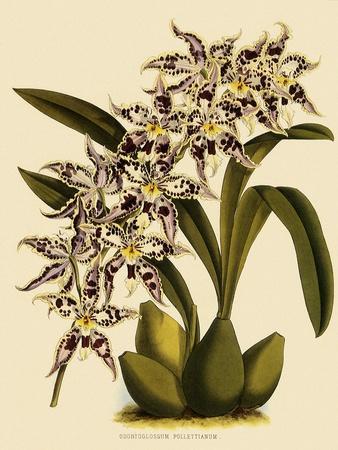 Odontoglossum X Polletianum