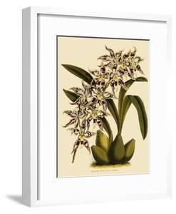 Odontoglossum X Polletianum by John Nugent Fitch