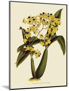 Oncidium Brunleesianum by John Nugent Fitch