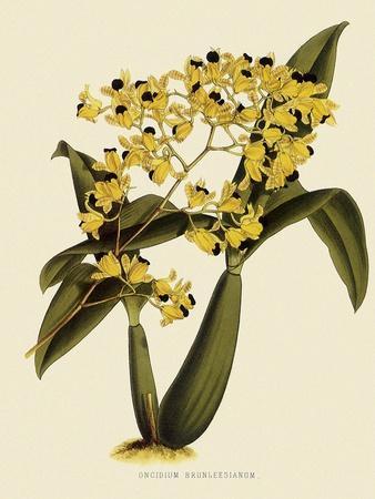 Oncidium Brunleesianum