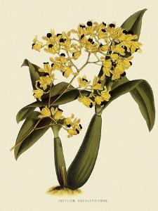 Oncidium Brunleesianum by John Nugent Fitch