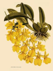 Oncidium Concolor by John Nugent Fitch