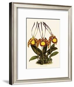Oncidium Papilio by John Nugent Fitch