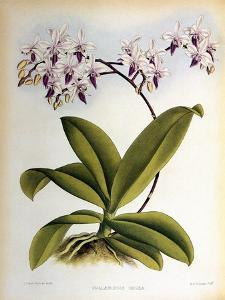 Phalaenopsis Rosea by John Nugent Fitch