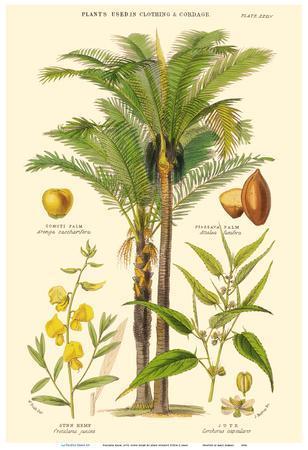 Piassava Palm, Jute, Sunn Hemp - Plants Used in Clothing & Cordage