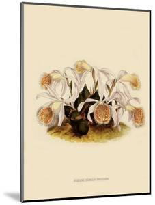 Pleoine Humilis by John Nugent Fitch