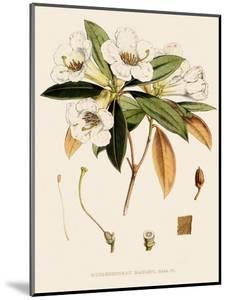 Rhododendron by John Nugent Fitch