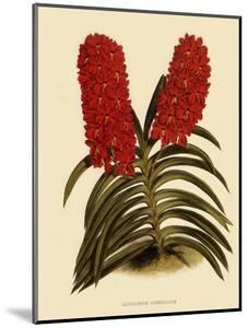 Saccolabium Curvifolium by John Nugent Fitch