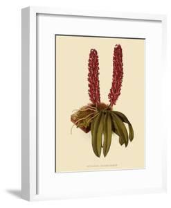 Saccolabium Hendersonianum by John Nugent Fitch
