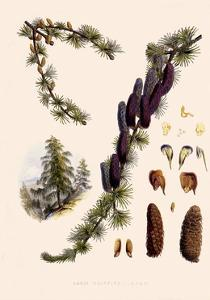 Sikkim Larch by John Nugent Fitch