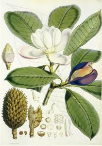 Talauma Hodgsonii by John Nugent Fitch