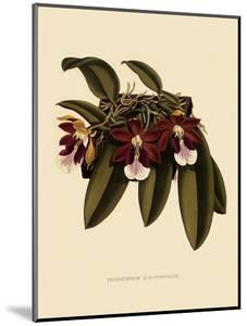 Trichocentrum Albopurpureum by John Nugent Fitch