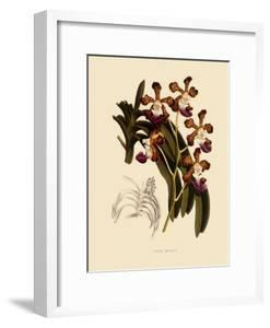 Vanda Insignis by John Nugent Fitch