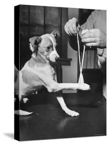 Man Demonstrating Proper Way to Put Splint on Dog in Event of First Aid Being Required by John Phillips