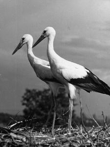 Pair of the Many Storks in the City of Copenhagen by John Phillips