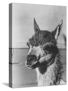View of a Llama by John Phillips
