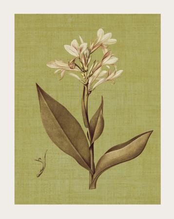Botanica Verde II by John Seba