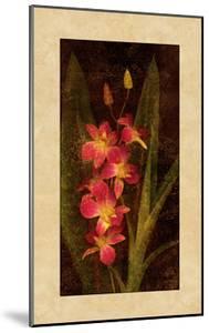 Orchid by John Seba
